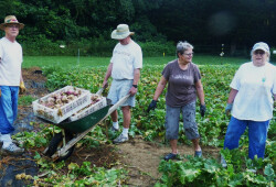 harvesting turnips07 7-20-16